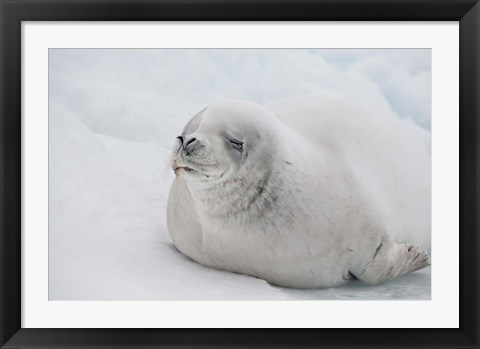 Framed Antarctica, White Crabeater seal on iceberg Print
