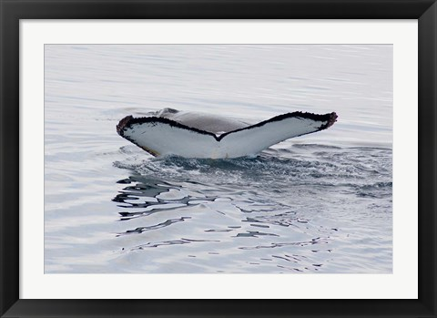 Framed Antarctica, Humpback whales in Southern Ocean Print