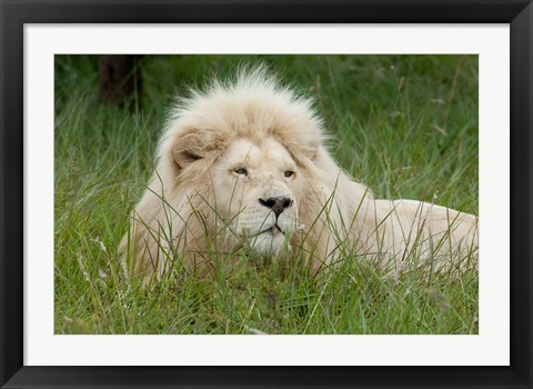 Framed African lion, Inkwenkwezi Private Game Reserve, East London, South Africa Print