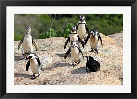 Framed African Penguin colony at Boulders Beach, Simons Town on False Bay, South Africa Print