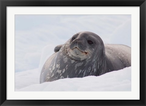 Framed Antarctica, Paradise Harbour, Fat Weddell seal Print
