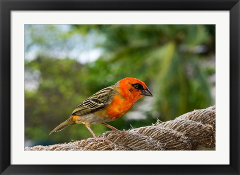 Framed Colorful Bird on Fregate Island, Seychelles, Africa Print