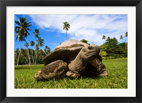 Framed Close Up of Giant Tortoise, Seychelles Print