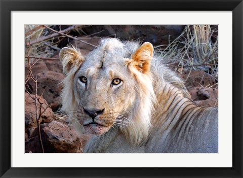Framed Face of feeding lion, Meru, Kenya Print