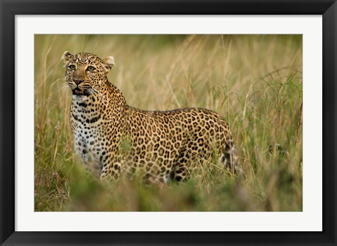 Framed African Leopard hunting in the grass, Masai Mara Game Reserve, Kenya Print