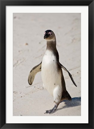 Framed African Penguin, Boulders beach, South Africa Print