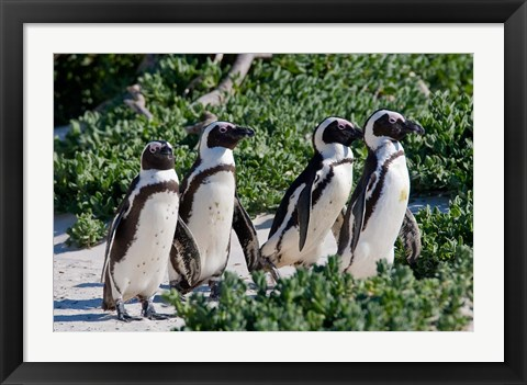 Framed Group of African Penguins, Cape Town, South Africa Print