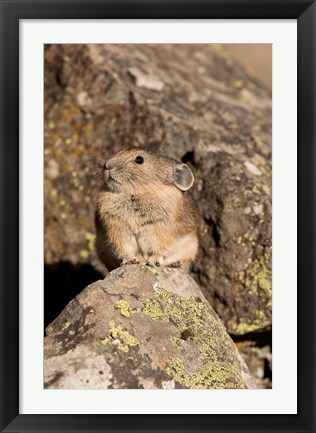 Framed American Pika in rocks, Yellowstone NP, USA Print