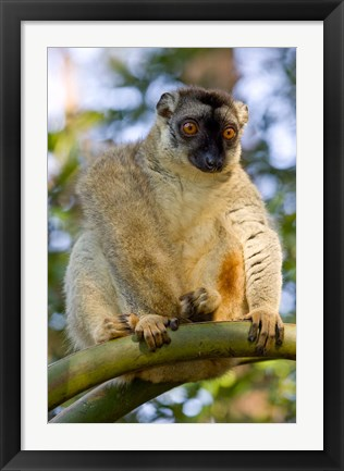 Framed Brown Lemur in a tree in Madagascar Print