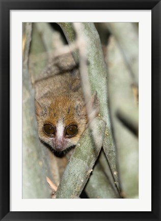 Framed Brown Mouse Lemur, tree trunk in Madagascar Print