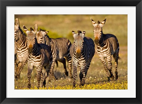 Framed Cape Mountain Zebra, Bushmans Kloof, South Africa Print