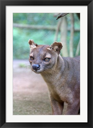 Framed Carnivore in Madagascar, related to a mongoose Print