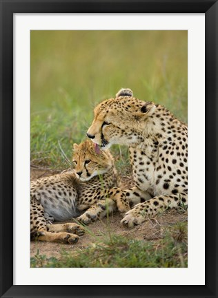 Framed Cheetah with cub in the Masai Mara GR, Kenya Print