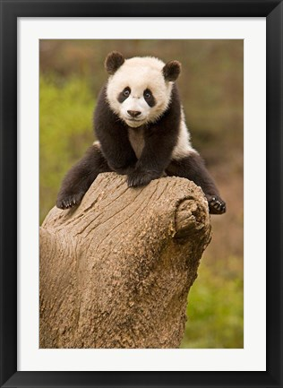 Framed China, Wolong Panda Reserve, Baby Panda bear on stump Print