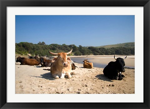 Framed Cows, Farm Animal, Coffee Bay, Transkye, South Africa Print