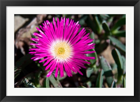 Framed Pink Flower, Kirstenbosch Gardens, South Africa Print