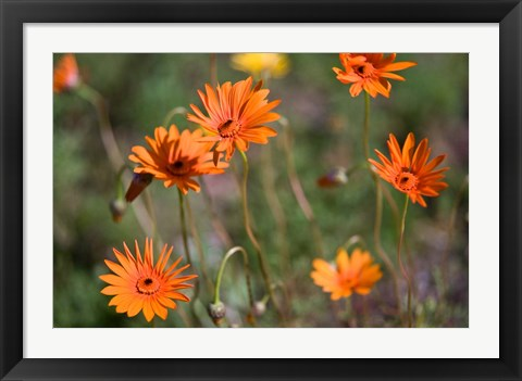 Framed Orange Flowers, Kirstenbosch Gardens, South Africa Print