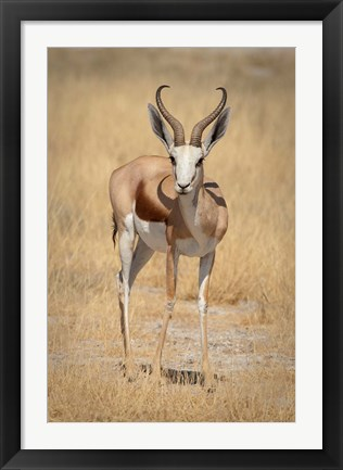 Framed Front view of standing springbok, Etosha National Park, Namibia, Africa Print