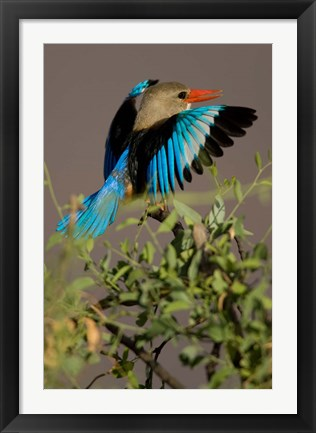Framed Grey-headed Kingfisher, Masai Mara GR, Kenya Print