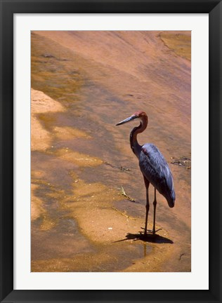 Framed Buffalo Springs National Reserve, Goliath Heron, Kenya Print