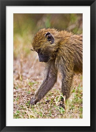 Framed Baboons Hanging Around, Maasai Mara, Kenya Print