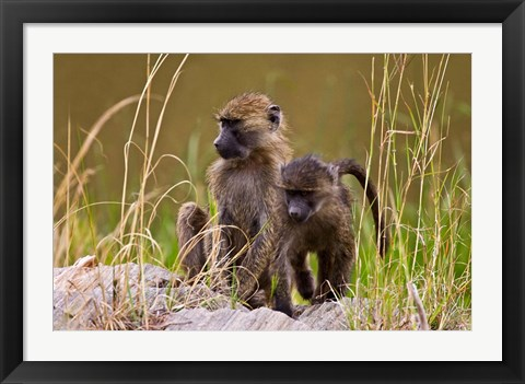 Framed Baboons in the bush in the Maasai Mara Kenya. (RF) Print