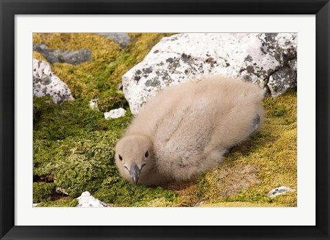 Framed Brown skua bird chick, western Antarctic Peninsula Print