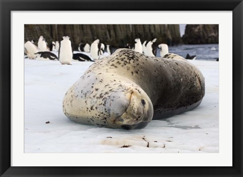 Framed Chinstrap Penguins and Leopard Seal, The South Shetland Islands, Antarctica Print