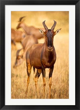 Framed Female topi standing on grassy plain, Masai Mara Game Reserve, Kenya Print