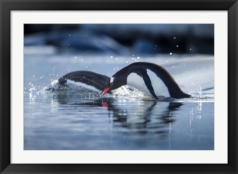 Framed Antarctica, Anvers Island, Gentoo Penguins diving into water. Print