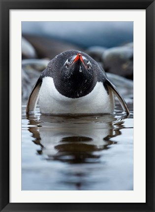 Framed Antarctica, Cuverville Island, Gentoo Penguin in a shallow lagoon. Print