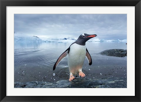 Framed Antarctica, Cuverville Island, Gentoo Penguin leaping onto shore. Print