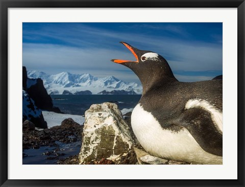 Framed Antarctica, Livingstone Island, Flash portrait of Gentoo Penguin. Print