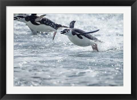 Framed Antarctica, South Shetland Islands, Chinstrap Penguins swimming. Print