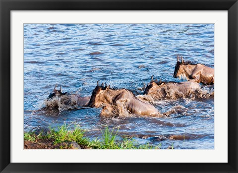 Framed Blue wildebeest crossing the Mara River, Maasai Mara, Kenya Print