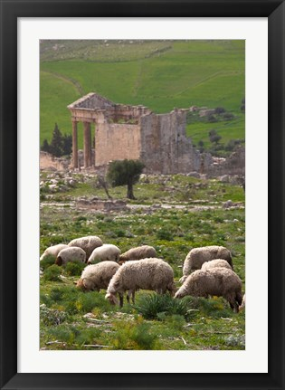 Framed Grazing sheep by the Capitole, UNESCO site, Dougga, Tunisia Print