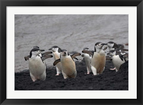 Framed Chinstrap Penguin on the beach, Deception Island, Antarctica Print