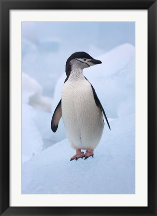 Framed Chinstrap Penguins on ice, South Orkney Islands, Antarctica Print