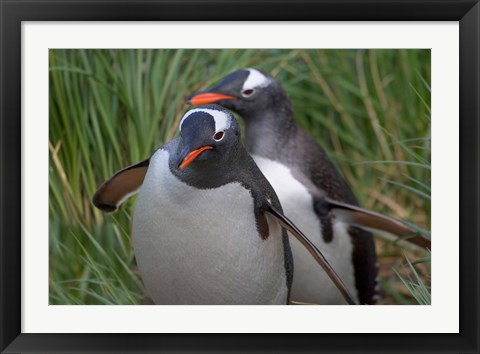 Framed Gentoo Penguin in the grass, Cooper Baby, South Georgia, Antarctica Print