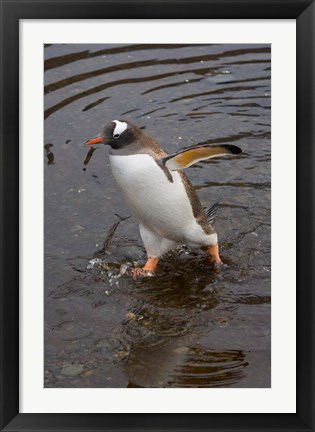Framed Gentoo Penguin, Hercules Bay, South Georgia, Antarctica Print
