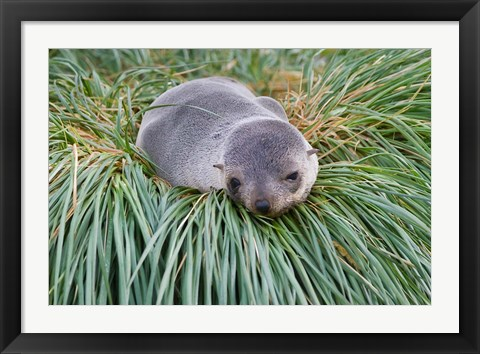 Framed Antarctic Fur Seal, Hercules Bay, South Georgia, Antarctica Print