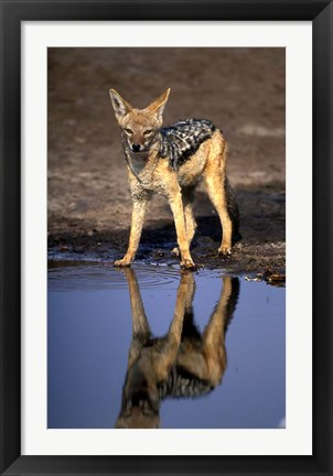 Framed Botswana, Chobe NP, Black Backed Jackal wildlife Print