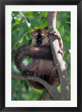 Framed Brown Red-fronted Lemur, Primate, Madagascar Print