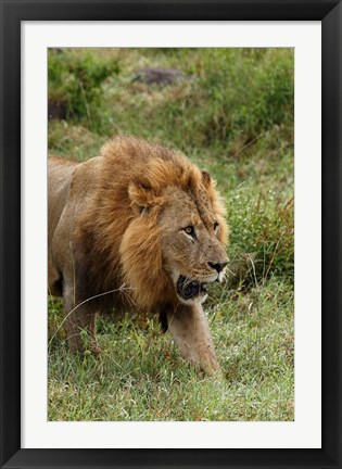 Framed Adult male lion, Lake Nakuru National Park, Kenya Print