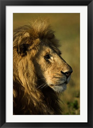 Framed Adult male lion, Maasai Mara, Kenya Print