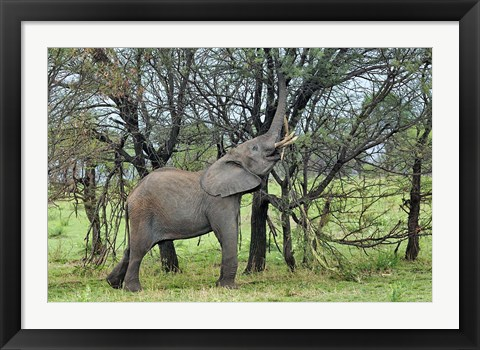 Framed African Elephant feeding on Tree bark, Serengeti National Park, Tanzania Print