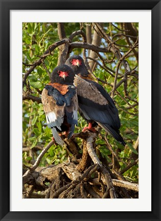 Framed Bateleur Eagles, Samburu National Reserve, Kenya Print