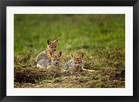 Framed Black-backed Jackal wildlife, Maasai Mara, Kenya Print