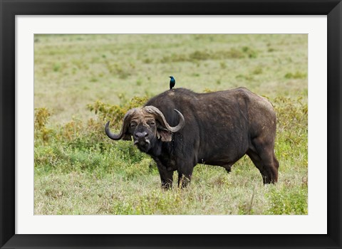 Framed Buffalo and starling wildlife, Lake Nakuru NP, Kenya Print