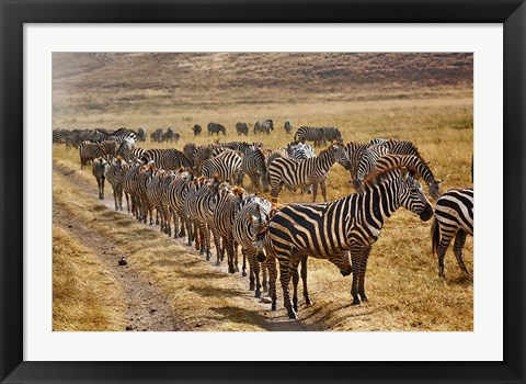 Framed Burchell's Zebra waiting in line for dust bath, Ngorongoro Crater, Tanzania Print